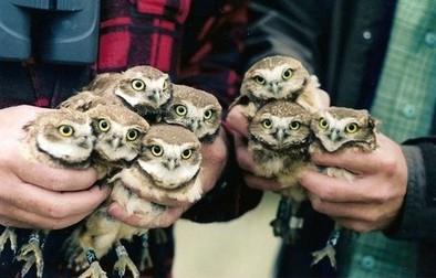 adorable-animals-cute-owl-owls-Favim.com-55416